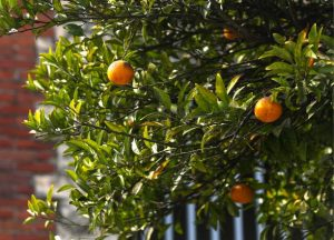 Branches orangers avec soleil